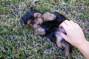 Two sweet yorkie puppies for free adoption